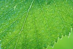 Hoja verde de un cierre del abedul encima de la macro Fotografía de archivo libre de regalías