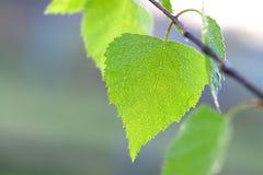 Hoja verde de un cierre del abedul encima de la macro Foto de archivo libre de regalías