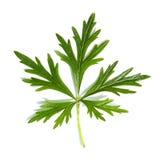 Hoja verde de una planta Imagenes de archivo