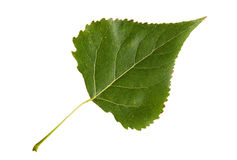 Hoja verde del árbol de álamo aislada en el fondo blanco Foto de archivo
