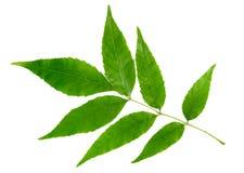 Hoja verde del árbol de arce aislada en blanco Fotos de archivo libres de regalías