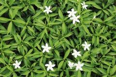 Hoja verde del arbusto con poca flor blanca para el fondo imagenes de archivo