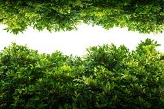 Hoja verde del Banyan aislada imagenes de archivo