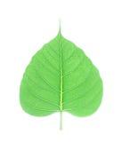 Hoja verde del bodhi aislada en el fondo blanco Fotos de archivo libres de regalías