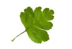 Hoja verde del cerezo de la cornalina aislada encendido Imagenes de archivo