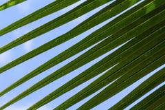 Hoja verde del coco del primer de la palmera y del cielo azul Fotos de archivo