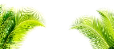 hoja verde del cocount de la palmera aislada imagenes de archivo