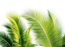 hoja verde del cocount de la palmera aislada foto de archivo