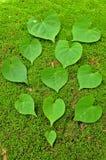 Hoja verde del corazón en fondo del musgo Fotos de archivo