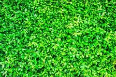 Hoja verde del erecta L de Duranta o gota de rocío de oro para el fondo Imagen de archivo