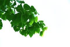 Hoja verde del estilo y de la forma sagrados de la higuera en el fondo blanco foto de archivo libre de regalías