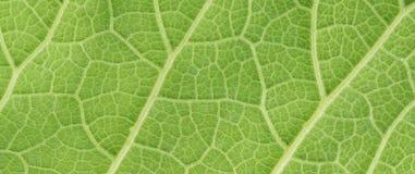 Hoja verde del fondo mullido de la cubierta, helenio de la planta, inula h Imagenes de archivo