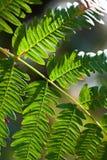 Hoja verde del helecho Imagen de archivo