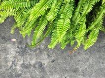 Hoja verde del helecho con el fondo del cemento del grunge Foto de archivo