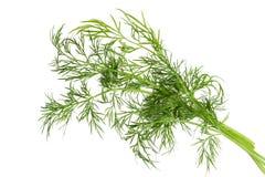 Hoja verde del hinojo aislada Imagen de archivo libre de regalías