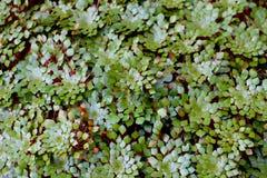 Hoja verde del loto Foto de archivo