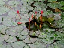 Hoja verde del loto foto de archivo libre de regalías