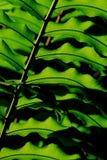 Hoja verde del paso del helecho Imágenes de archivo libres de regalías