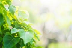 Hoja verde del pho de la hoja de BO, hojas de higo sagrado de la hoja del bothi, forma de V o forma del corazón imagen de archivo