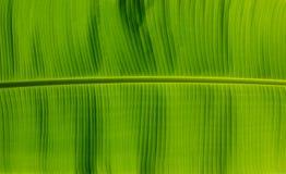 Hoja verde del plátano Fotografía de archivo libre de regalías