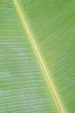 Hoja verde del plátano fotos de archivo