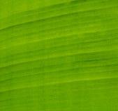 Hoja verde del plátano Imagenes de archivo