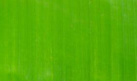 Hoja verde del plátano Imagen de archivo libre de regalías