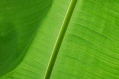 Hoja verde del plátano Fotos de archivo libres de regalías