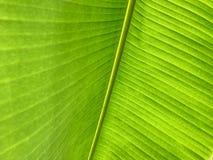 Hoja verde del plátano como fondo de la textura imagenes de archivo