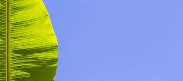 Hoja verde del plátano en un fondo azul Billete para la bandera Una hoja de una palmera tropical contra el cielo Fotografía de archivo
