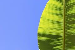 Hoja verde del plátano en un fondo azul Billete para la bandera Una hoja de una palmera tropical contra el cielo Foto de archivo libre de regalías