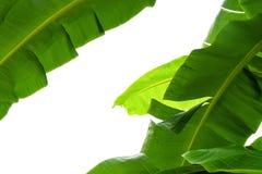 Hoja verde del plátano, textura tropical verde del follaje aislada en el fondo blanco del fichero con la trayectoria de recortes Foto de archivo