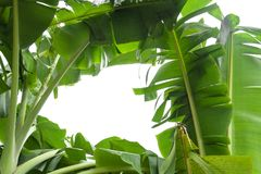 Hoja verde del plátano, textura tropical verde del follaje aislada en el fondo blanco del fichero con la trayectoria de recortes Foto de archivo libre de regalías