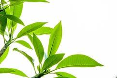 Hoja verde del Plumeria en el fondo blanco Imagen de archivo libre de regalías