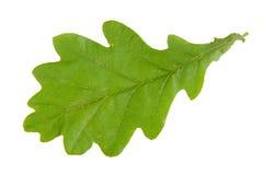 Hoja verde del roble aislada en el fondo blanco Fotografía de archivo