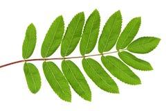 Hoja verde del serbal Imágenes de archivo libres de regalías