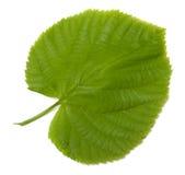Hoja verde del tilo-árbol Imágenes de archivo libres de regalías