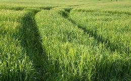 Hoja verde del trigo del younf Imagenes de archivo