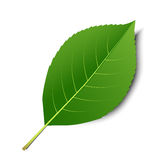 Hoja verde del vector Imagen de archivo libre de regalías