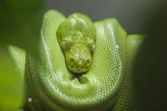Hoja verde del verde del primero plano del pitón Fotografía de archivo libre de regalías