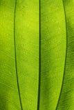Hoja verde detallada Fotografía de archivo libre de regalías