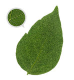 Hoja verde detallada con las venas y las células Fotos de archivo