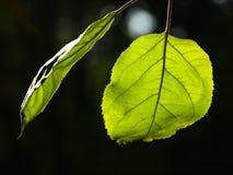 Hoja verde dos foto de archivo libre de regalías