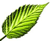 Hoja verde en blanco Imagenes de archivo