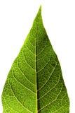Hoja verde en blanco Fotos de archivo