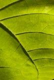 Hoja verde en blanco Fotografía de archivo