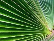 Hoja verde en forma de abanico rayada Imagen de archivo libre de regalías