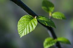 Hoja verde en la rama Fotos de archivo libres de regalías