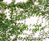 Hoja verde en una pared blanca foto de archivo