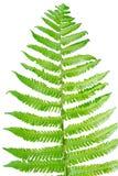 Hoja verde fresca aislada en el fondo blanco Fotografía de archivo libre de regalías